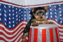 Trudy Female Yorkie $1750 Ready 7/10 SOLD MY NEW HOME TALLAHASSEE, FL 1.8 lbs 6 Weeks Old