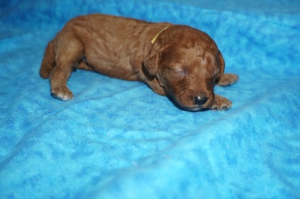 Aurora Female CKC Mini Labradoodle $2000 Ready 8/21 HAS DEPOSIT MY NEW HOME TEQUESTA, FL 13 oz 13 Days Old