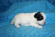 Lucy Female CKC Shihpoo $1750 READY 8/18 HAS DEPOSIT MY NEW HOME JACKSONVILLE, FL 1 Lb 2 WKS Old