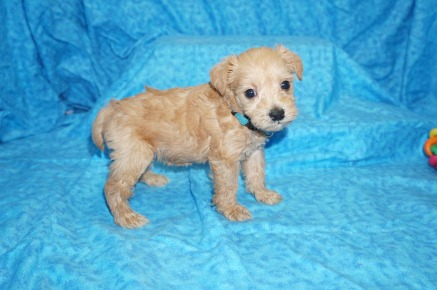 Mercedes Female CKC Schnoodle $1750 Ready 8/2 HAS DEPOSIT MY NEW HOME HILLSBORO, OR 1.10 lbs 4W4D Old