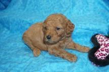 Mulan Female CKC Mini Labradoodle $2000 Ready 8/21 HAS DEPOSIT! My new home is in Jax, FL! 1.6lbs 3wks 2 days old
