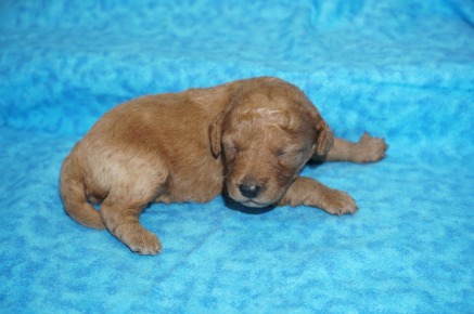 Mulan Female CKC Mini Labradoodle $2000 Ready 8/21 AVAILABLE 1lb 13 Days Old