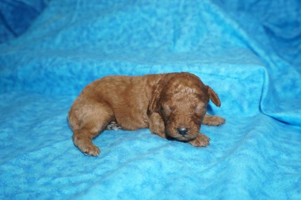 Rapunzel Female CKC Mini Labradoodle $2000 Ready 8/21 HAS DEPOSIT MY NEW HOM,E JACKSONVILLE, FL 13.5 oz 13 Days Old