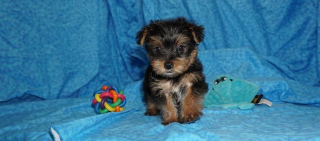 Scotty McCreery Male CKC T-cup Yorkie $1750 Ready 7/11 SOLD MY NEW HOME LAND O LAKES, FL 14.5 oz 5W4D Old