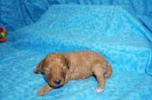 Pocahontas Female CKC Mini Labradoodle $2000 Ready 8/21 HAS DEPOSIT MY NEW HOME FERNANDINA, FL 12.7 oz 13 Days Old