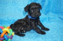 Hummer (Jasper) Male CKC Schnoodle $1750 Ready 8/2 SOLD MY NEW HOME JACKSONVILLE, FL 1.4 lbs 4W4D Old