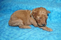 Jasmine Female CKC Mini Labradoodle $2000 Ready 8/21 AVAILABLE 12 oz 13 Days Old
