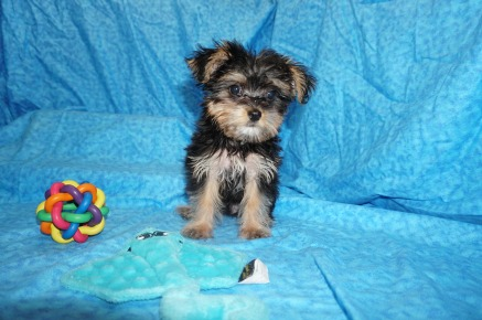 Megabytes Male CKC Havashire $2000 Special $1500 Ready 6/13 SOLD MY NEW HOME ORMOND BEACH, FL 2.5 LBS 12 WEEKS OLD w/ ALL HIS PUPPY VACCINES INCLUDING RABIES!
