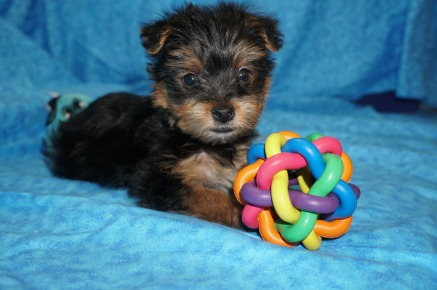 Scotty McCreery Male CKC T-cup Yorkie $1750 Ready 7/11 SOLD MY NEW HOME LANDO LAKES, FL 1.15 Lbs 5W4D Old