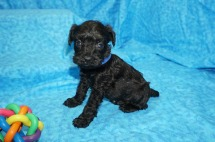 Hummer Male CKC Schnoodle $1750 Ready 8/2 SOLD MY NEW HOME JACKSONVILLE, FL 1.4 lbs 4W4D Old