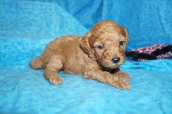 Jasmine Female CKC Mini Labradoodle $2000 Ready 8/21 HAS DEPOSIT! 1.2lbs 3wks 2 days old
