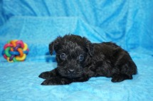 Jetta Female CKC Schnoodle $1750 Ready 8/2 SOLD MY NEW HOME UMATILLA, FL 1.7 Lbs 4W4D Old