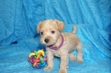 Lexis Female CKC Schnoodle $1750 Ready 8/2 SOLD MY NEW HOME JACKSONVILLE, FL 1.7 lbs 4W4D Old