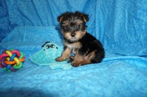 Scotty McCreery Male CKC T-cup Yorkie $1750 Ready 7/11 HAS DEPOSIT MY NEW HOME LANDO LAKES, FL 1.15 Lbs 5W4D Old