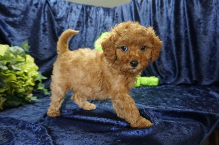 Aurora (Boomer) Female CKC Mini Labradoodle $2000 Ready 8/21 SOLD MY NEW HOME TEQUESTA, FL 2.10 lbs 7 Wks old