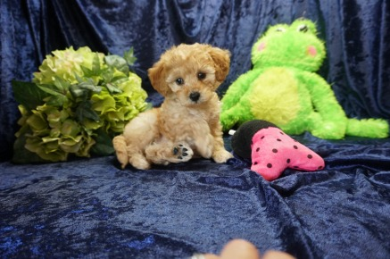 Belle Female CKC Mini Labradoodle $1750 Ready 8/21 SOLD MY NEW HOME ORLANDO FL 2.11 lbs 7 Wks old