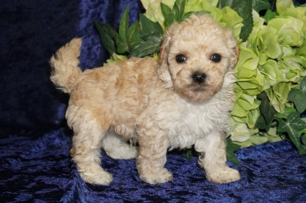 Biscuit Male CKC Morkipoo $1750 Ready 9/5 SOLD MY NEW HOME JACKSONVILLE, FL 1.6 lbs 4W4D Old