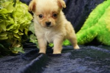 Bubbles (Prissy) Female CKC Miki $2000 Ready 8/31 SOLD MY NEW HOME JACKSONVILLE, FL 14 oz 5W1D Old old