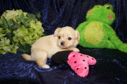 Champagne Female Miki $2000 SOLD MY NEW HOME Champagne Female Miki $2000 HAS DEPOSIT MY NEW HOME PONTE VEDRA, FL 1 LB 3W1D Old 1.2 LBS 5W1D Old