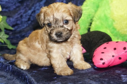 Honey Female CKC Morkipoo $1750 Ready 9/5 SOLDMY NEW HOME ST AUGUSTINE, FL 1.3 lbs 4W4D Old