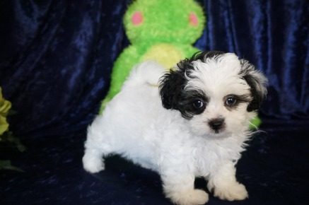 Lucy Female CKC Shihpoo $1750 READY 8/18 SOLD DEPSIT MY NEW HOME JACKSONVILLE, FL 2.2 lbs 7W12D Old