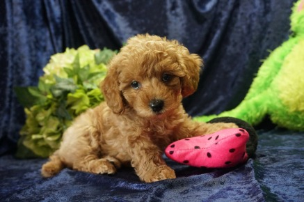 Mulan (Chewie) Female CKC Mini Labradoodle $2000 Ready 8/21 SOLD! My new home is in Jax, FL! 2.6 lbs 7 Wks old