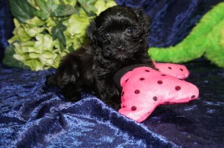 Pipi (Coco Bear) Female Havapoo $1750 Ready 8/21 HAS DEPOSIT MY NEW HOME OCALA, FL 1.6 Lb 7 WKS Old