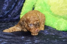 Ruby Female CKC Havapoo $2000 Ready 9/18 SOLD MY NEW HOME IS EUSTIS, FL 1 lb 3 Weeks old