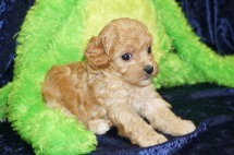 1 Sweetie (Kiki) 1.5 lbs 4W4D Old (1)