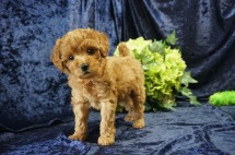 Ariel Brasco) Female CKC Mini Labradoodle $2000 Ready 8/21 SOLD MY NEW HOME JAX BEACH, FL 2.6 lbs 7 Wks old