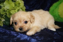 Champagne Female Miki $2000 SOLD MY NEW HOME PONTE VEDRA, FL 1.2 LBS 5W1D Old