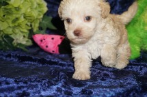 Jammer Female CKC Morkipoo $1750 Ready 9/5 SOLD MY NEW HOME JACKSONVILLE, FL 1.4 lbs 4W4D Old