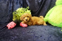 Jasmine Female CKC Mini Labradoodle $2000 Ready 8/21 SOLDMY NEW HOME IS RINCON, GA 2.7 lbs 7 Wks old