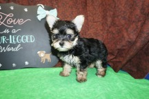 Kermit Male T-Cup Yorkie $2000 Ready 8/2 SOLD MY NEW HOME LAKELAND, FL 1.14 lbs 7W3D Old