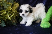 Lucy Female CKC Shihpoo $1750 READY 8/18 SOLD MY NEW HOME JACKSONVILLE, FL 2.2 lbs 7W12D Old