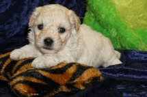 Maui Male Havapoo $1750 Ready 9/12 HAS DEPOSIT MY NEW HOME CHESTERFIELD VA 1.5 Lbs 3W4D Old