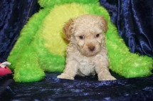 Muffin Female CKC Morkipoo $1750 Ready 9/5 SOLD MY NEW HOME JACKSONVILLE, FL 1.4 lbs 4W4D Old