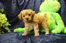 Pochantas Female CKC Mini Labradoodle $2000 Ready 8/21 ! SOLD my new home is in Jax, FL 2 lbs 7 Wks old