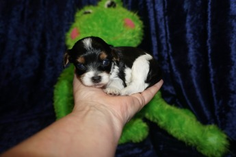 Rico Male CKC Havapoo $1750 Ready 9/18 HAS DEPOSIT MY NEW HOME ORLANDO, FL 11.5 oz 3 Weeks old