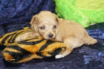 Roo Male CKC Havapoo $2000 Ready 9/18 SOLD MY NEW HOME JACKSONVILLE, FL 14 oz 3 Weeks old