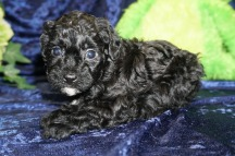 Shadow Male CKC Malshipoo $1750 Ready 9/5 SOLD MY NEW HOME ST MARYS, GA 1.12 lbs 4W4D Old