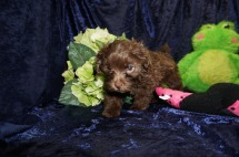 Tipi (Coco) Female Havapoo $2000 Ready 8/21 SOLD MY NEW HOME JACKSONVILLE, FL 1.12 Lb 7 WKS Old