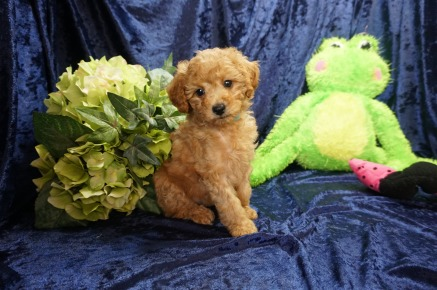 Jasmine Female CKC Mini Labradoodle $2000 Ready 8/21 HAS DEPOSIT MY NEW HOME IS RINCON, GA 2.7 lbs 7 Wks old