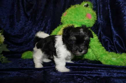 Jerry Male CKC Havanese $1750 Ready 8/29 AVAILABLE 1.8 Lbs 5W5D Old