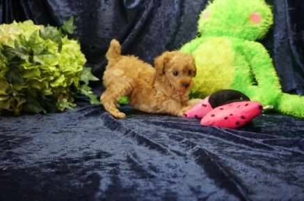 Pochantas Female CKC Mini Labradoodle $2000 Ready 8/21 SOLD My new home is in Jax, FL! 2 lbs 7 Wks old