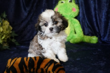 Ricky (Paco) Male CKC Shihpoo $1750 READY 8/18 SOLD MY NEW HOME JACKSONVILLE, FL 1.11 lbs 7W12D Old