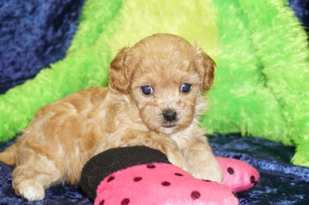 Sweetie (Kiki) Female CKC Malshipoo $2000 Ready 9/5 SOLD MY NEW HOME JACKSONVILLE, FL 1.5 lbs 4W4D Old