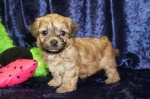 Honey Female CKC Morkipoo $1750 Ready 9/5 SOLD MY NEW HOME ST AUGUSTINE, FL 1.3 lbs 4W4D Old