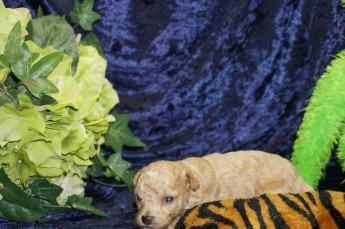 4 Rudy 14.5 oz 3 Weeks old (23)