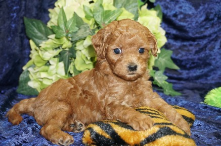 Sammy Male CKC Malshipoo $2000 Ready 9/5 SOLD MY NEW HOME FORT MEYERS, FL1.11 lbs 4W4D Old